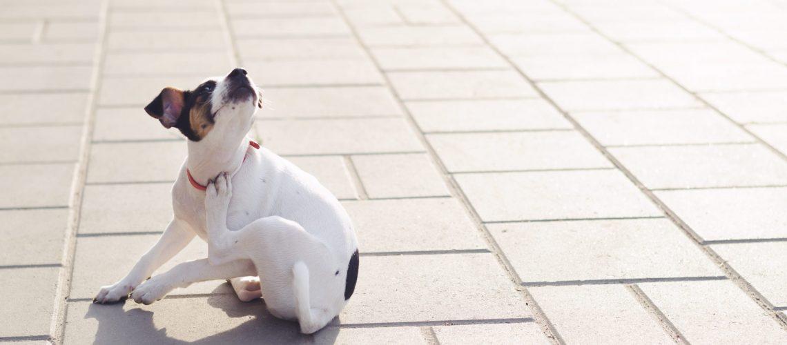 Hund kratzt sich Parasiten bei Hund